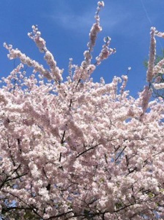 where to see best Washington DC Cherry Blossoms