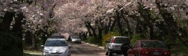Canopy of cherry trees
