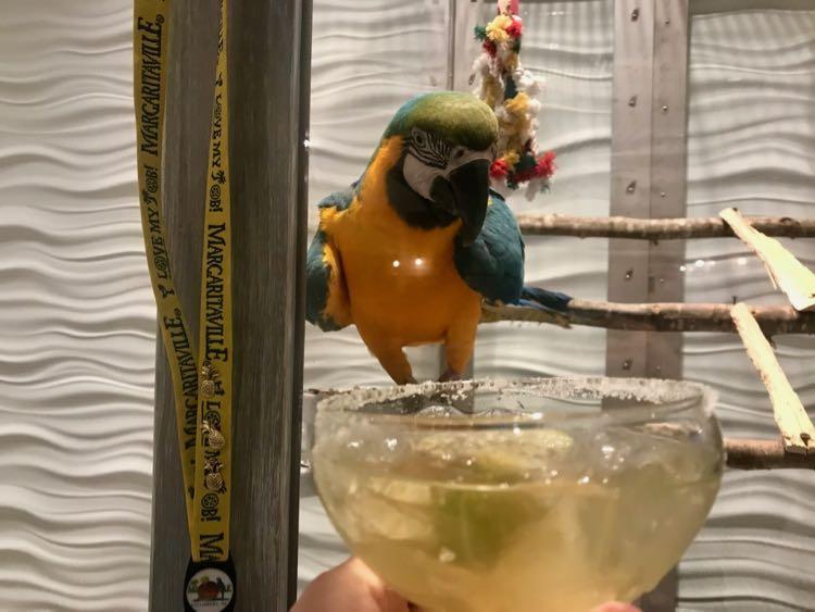 Say hi to the friendly parrot at the Margaritaville Resort Gatlinburg