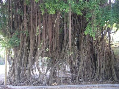 South Florida banyan tree, Old Cutler Ridge Road, Scenic Drives in South Florida by McCool Travel