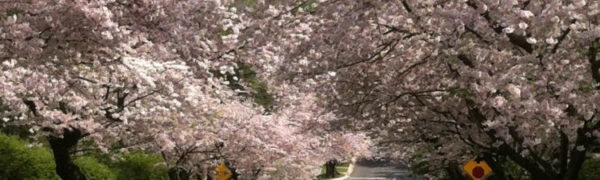 Kenwood Maryland cherry trees