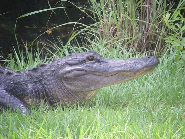 see wild alligators in Everglades on Scenic Drives in South Florida
