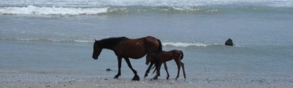OBX Horses