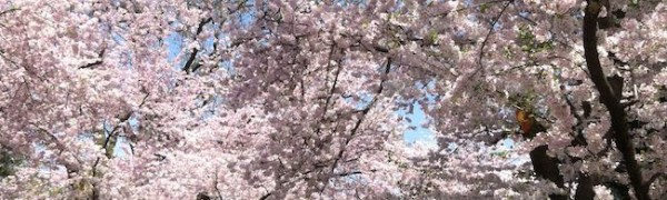 cherry trees in Kenwood Maryland
