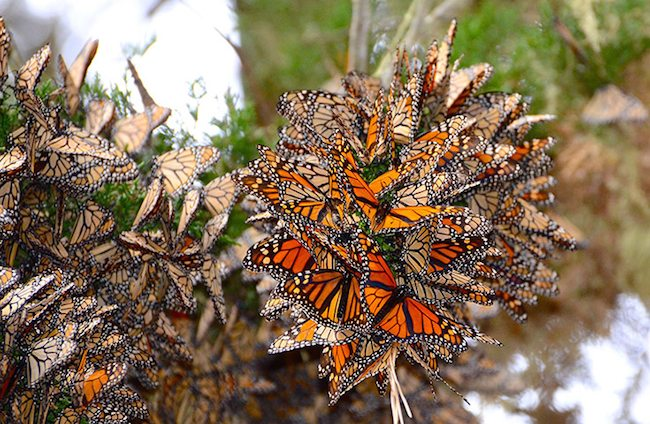 Pacific Grove Monarch Bufferflies
