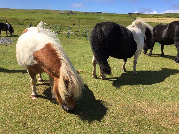 Ponies Shetland Islands Scotland